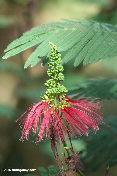 Flor vermelha do Acacia