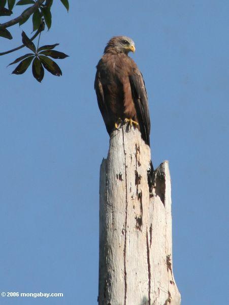 Le milan noir (migrans de Milvus) était perché sur un tronçon mort d'arbre