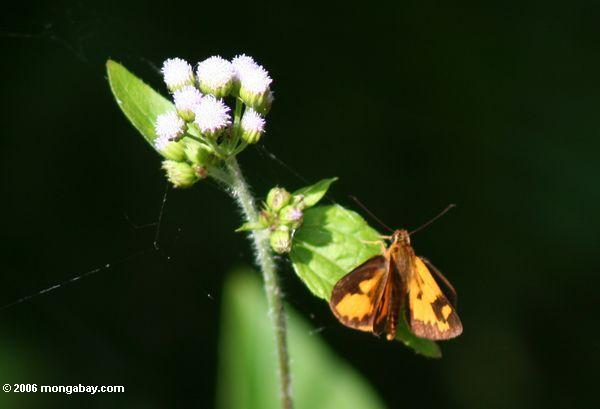 оранжевый капитана бабочки