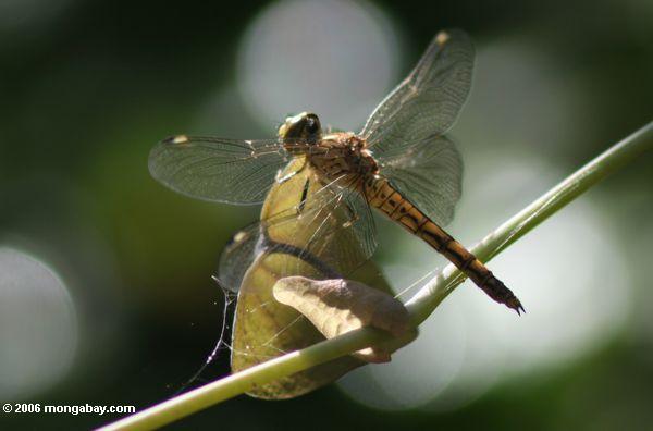 желтый стрекоза покоится на лозе в лист