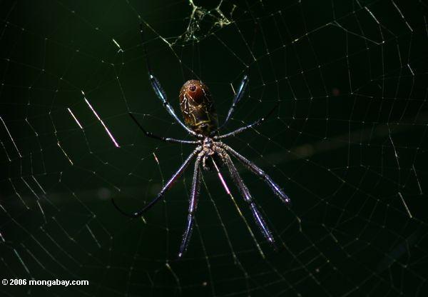 Aranha do Orb em Uganda