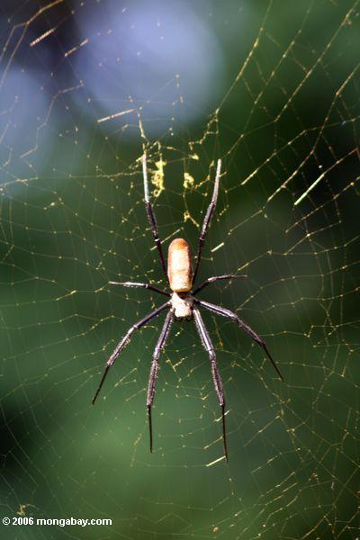 шар паука в Уганде