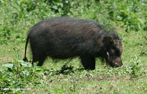 Riesiges Waldschwein (Hylochoerus meinertzhageni), das größte Schwein Uganda
