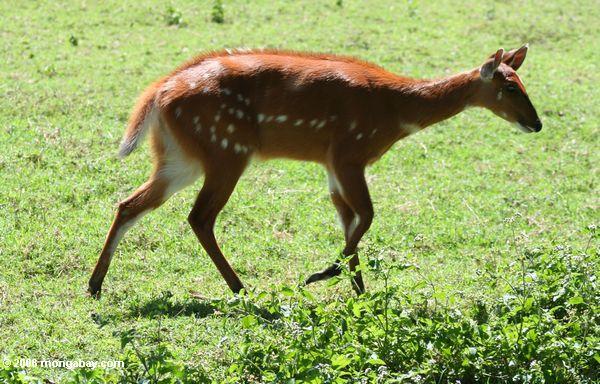 Bushbuck (scriptus de Tragelaphus), une antilope qui est trouvée en Afrique sous-saharien.