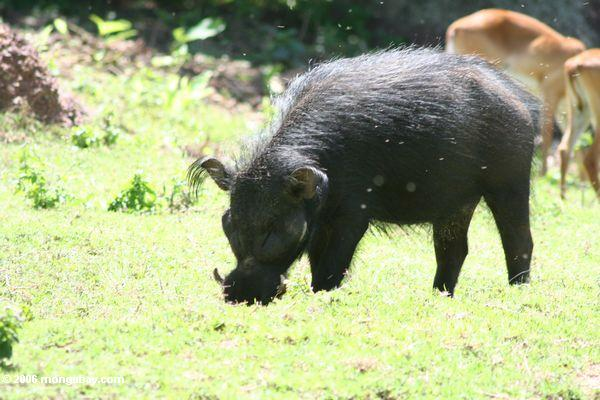 Giant African Forest Hog