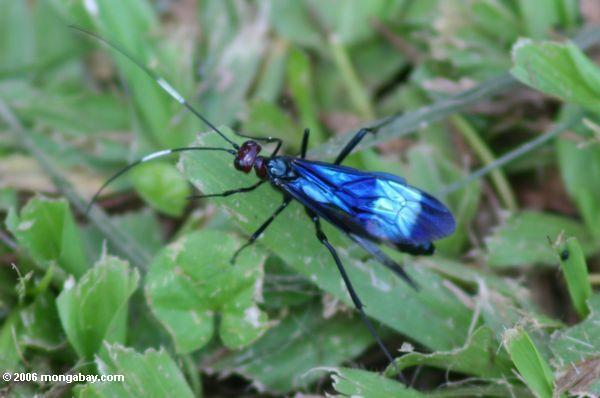 Blaue und schwarze Wespe