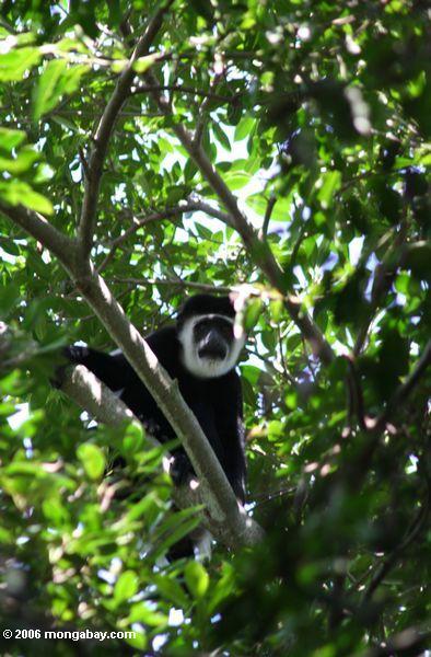 Black and White Colobus Monkey (Colobus guereza)