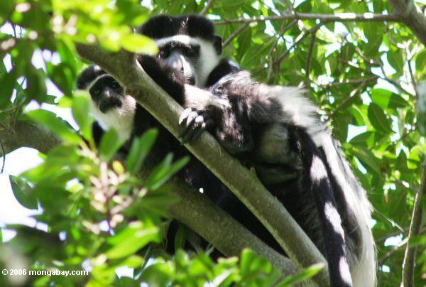 Eastern Black and White Colobus Monkeys