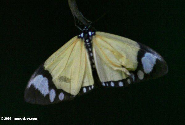 Pale a borboleta alaranjada com markings pretos e brancos