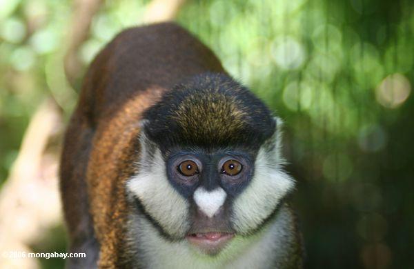 Macaco vermelho da cauda (ascanius de Cercopithecus)