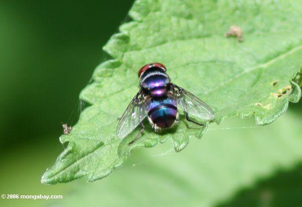 Blaue, violette und purpurrote Fliege mit Rot mustert
