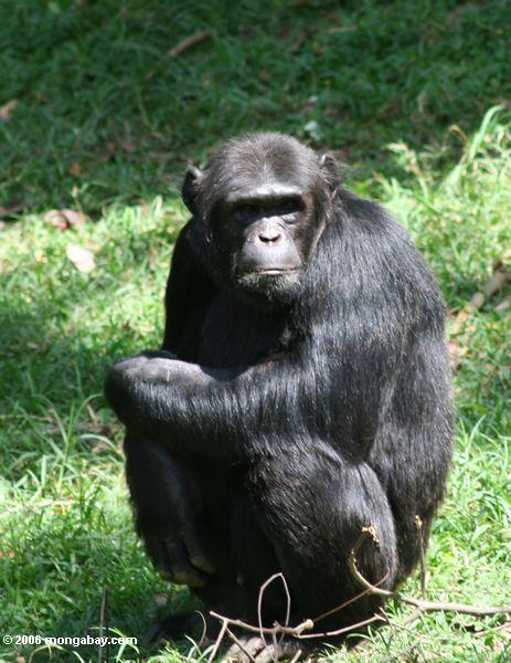 Bugoma Forest Reserve provides important habitat for eastern chimpanzees (Pan troglodytes schweinfurthii), which are currently listed as Endangered by the IUCN. Photo by Rhett A. Butler.