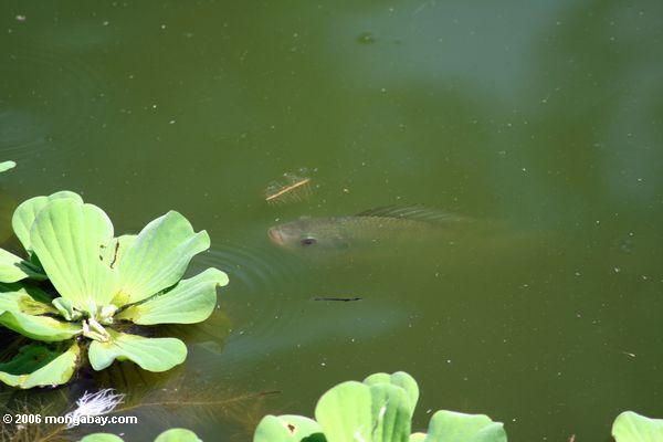 Tilapia in einem Teich