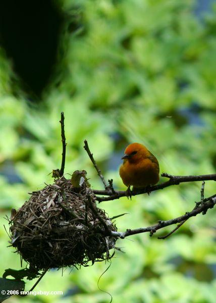 Orange Webervogel, der sein Nest Uganda