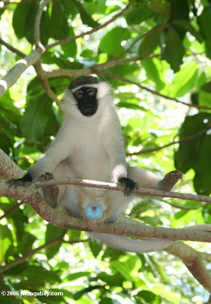 A serious case of blue balls on a Male vervet monkey (Cercopithecus aethiops)