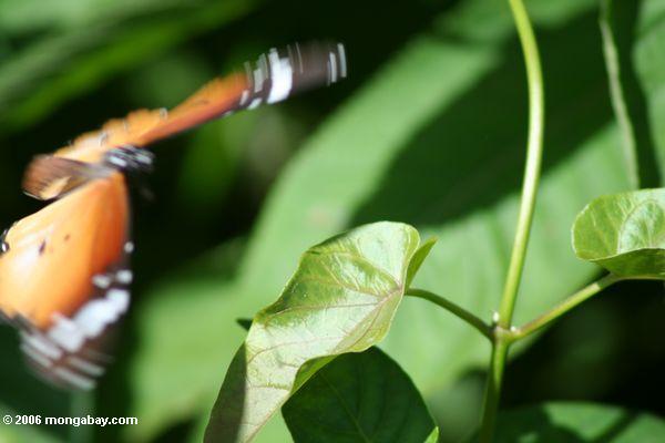 Aterragem alaranjada da borboleta em uma folha da videira