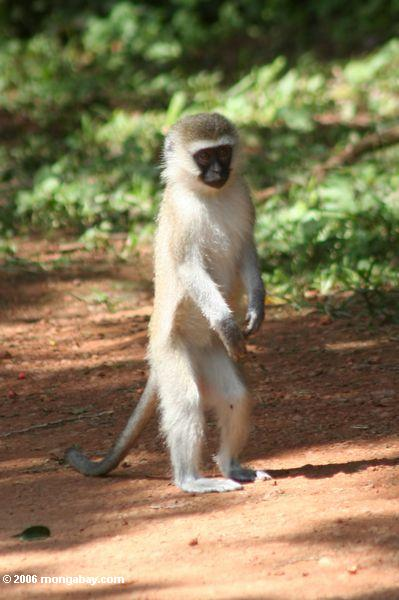 Young vervet monkey standing upright
