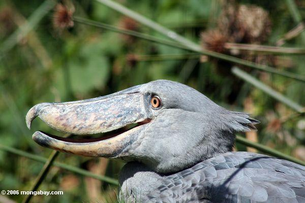 Shoebill (Balaeniceps rex) with its mouth slightly agape