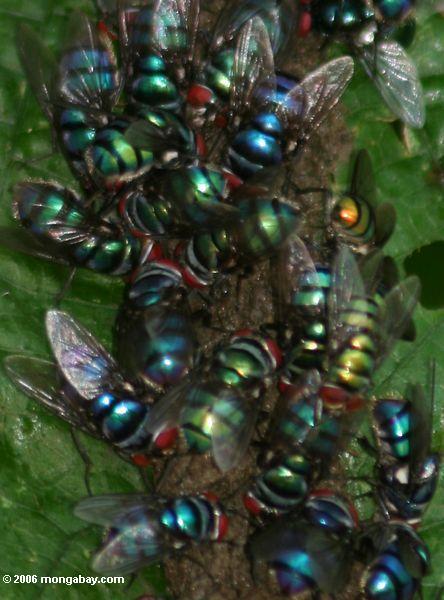 Irisierende Fliegen, die genießen auf Tiervergeudung