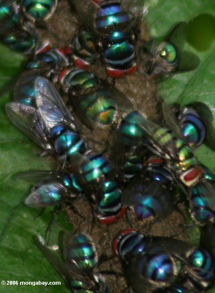 красочный мух, питающихся навоз