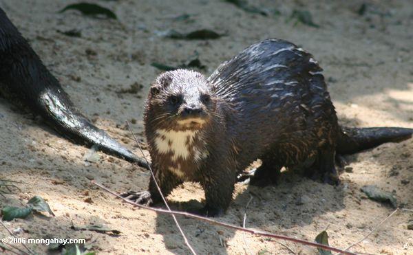 Lutra maculicollis (Beschmutzen-necked Otter) auf einem Strand