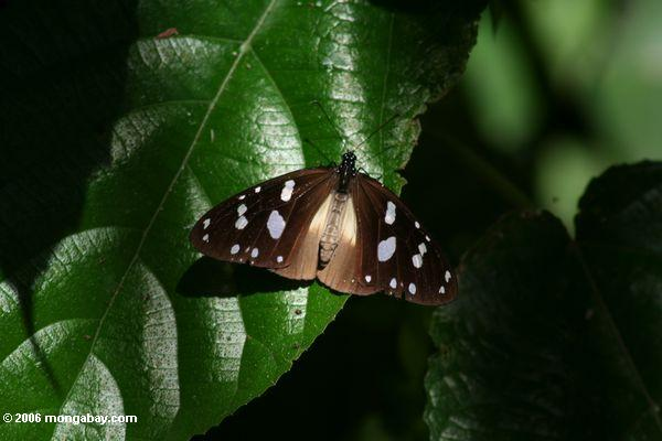 Butterfly with black wings and white spots