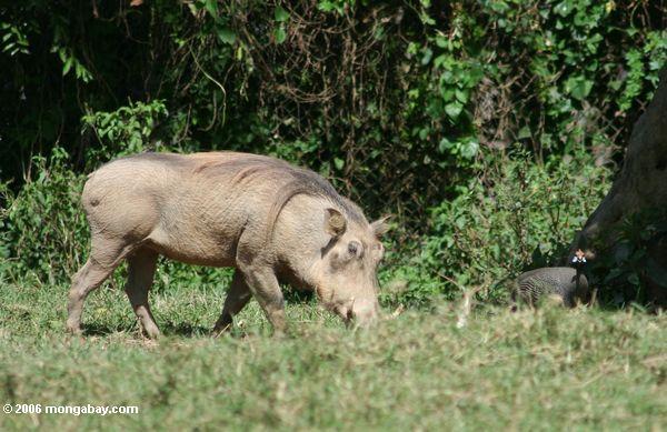 Warthog mit Guinegeflügel