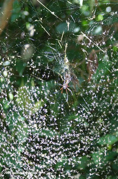 Tausenden von See fliegt in das Netz einer Kugel-Spinne