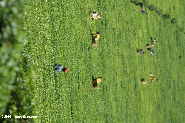 Sacos do carvão de lenha feitos das árvores do Acacia ao longo de um roadside em Uganda