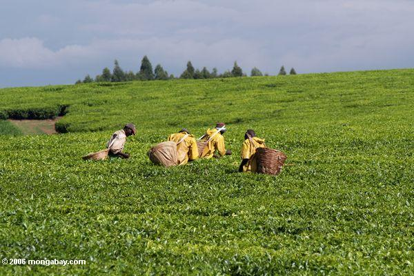 Agricultural workers pick tea leaves in Uganda. Photo by: Rhett A. Butler.