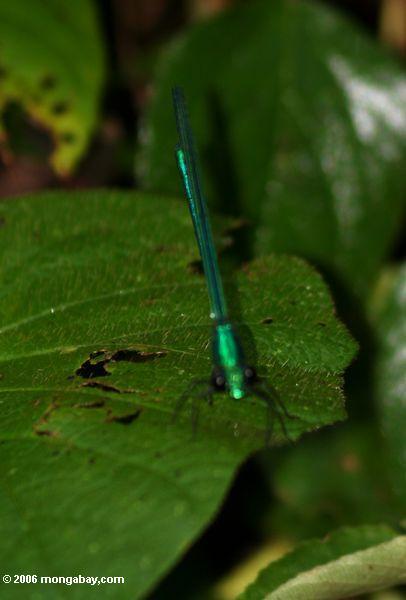 Libélula verde metálica