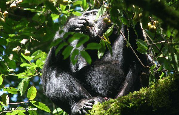 Chimpancé (troglodytes de la cacerola) que alimenta en la fruta del pabellón