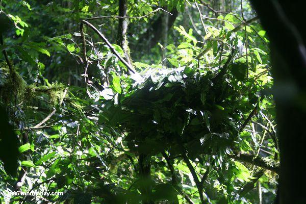 Schimpansenest im Kanyanchu rainforest