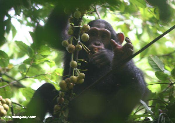 A young chimpanzee snacking on fruit in the forest