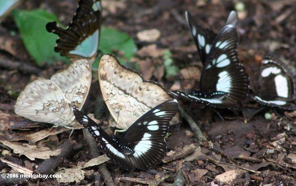 Schmetterlinge, die einziehen auf dung auf dem Waldfußboden
