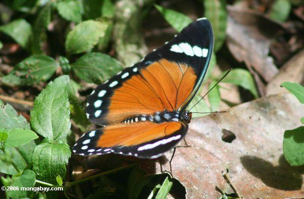 Orange, schwarzer und weißer Schmetterling