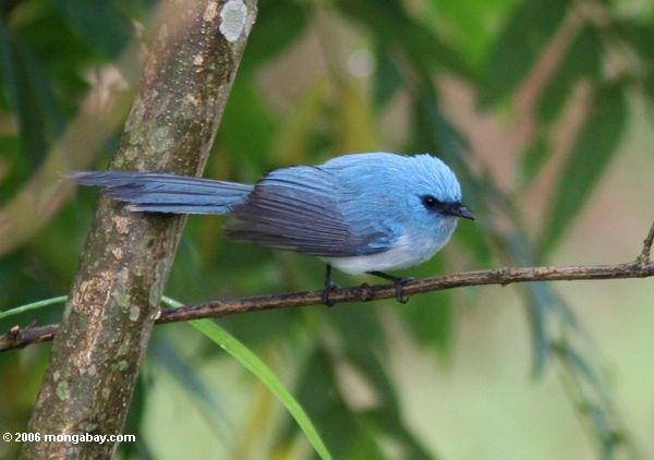 Blue bird with a moderately long tail (African blue-flycatcher (Elminia longicauda)?)
