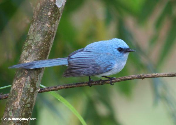 Blauer Vogel mit einem gemäßigt langen Endstück (afrikanische blaue-flycatcher?)