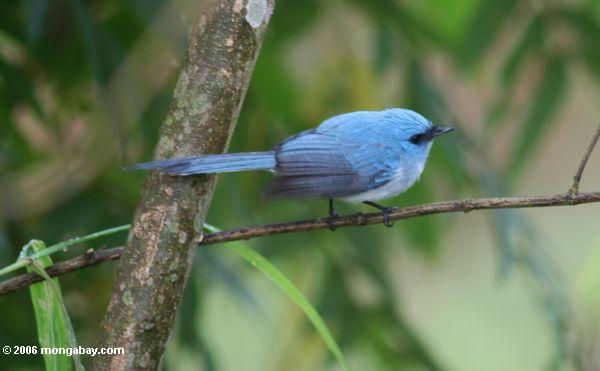 Afrikanischer blauer-flycatcher (Elminia longicauda)