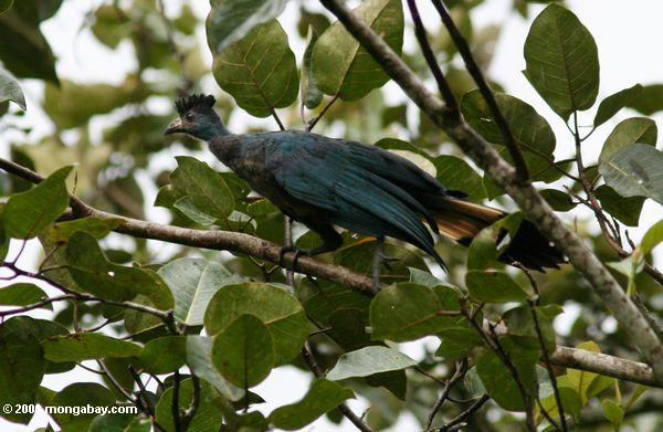 Unreifer blauer Turaco (Corythaeola cristata)