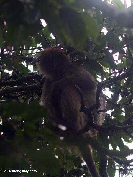 Roter colobus Affe gepresst im überdachung