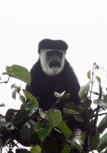 Schwarzweiss-colobus Affe (Colobus guereza) im Treetop