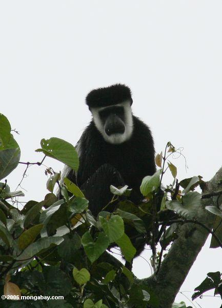 Black and white colobus Monkey (Colobus guereza) in treetop