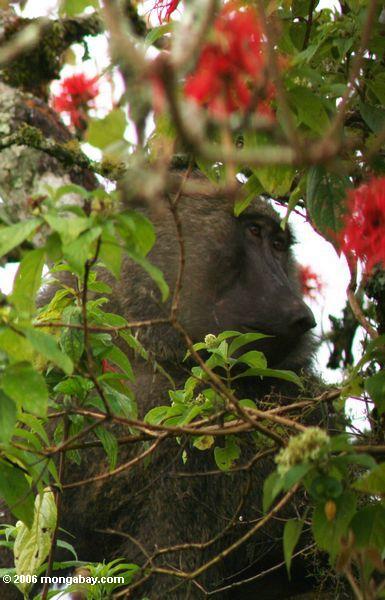 Olivgrüner Pavian in einer Korallenbaum