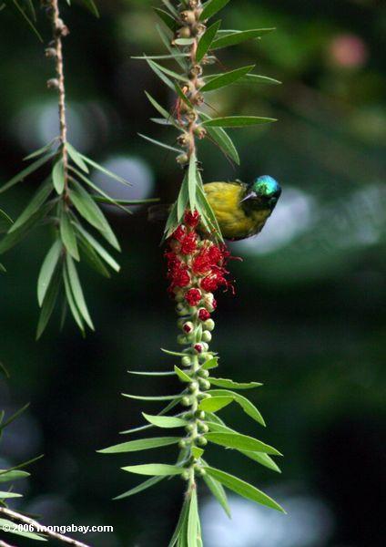 Variables sunbird (Cinnyris venusta) oder Collared sunbird (Hedydipna collaris)
