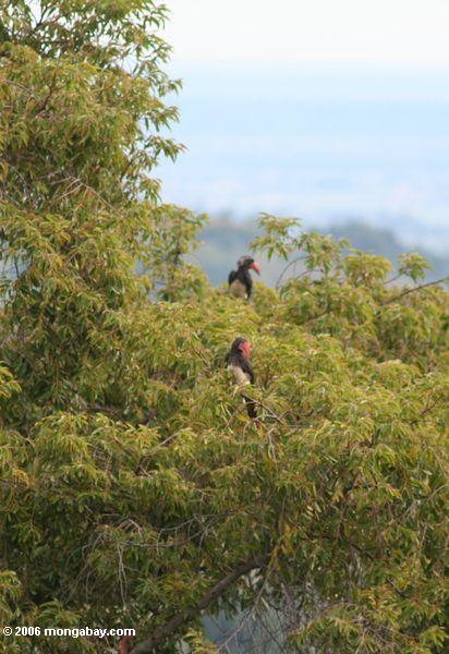 Paar gekröntes hornbill (Tockus alboterminatus) in der Treetop