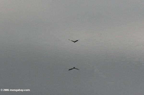 Raptor im Flug über einer Kratersee