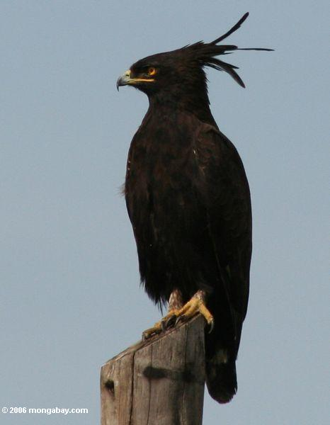 Long-crested Eagle, Lophaetus occipitalis, perched on a tree stump