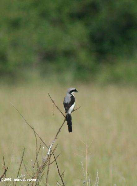 fiscais Cinzento-suportado, excubitoroides de Lanius, no savanna