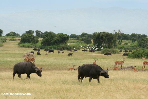 African buffalo (Syncerus caffer), egrets, and Uganda kob on the savanna